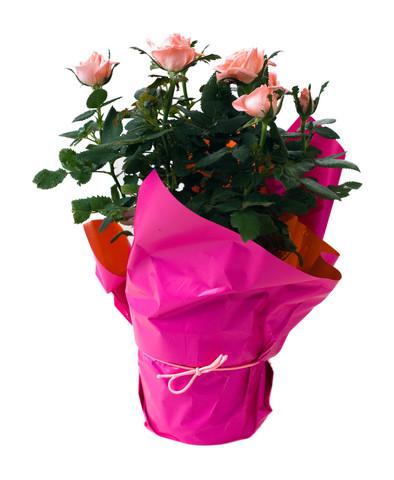 sc 1 st  Kazakhstan flower delivery & Potted Roses